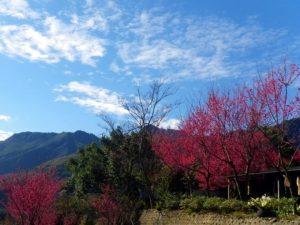 櫻花盛開的比亞外(下)