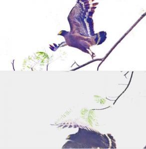 口埤部落的大冠鳩