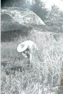 五零年代割稻的老照片