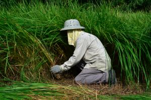 口埤部落的茅草