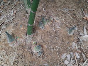 竹筍的季節
